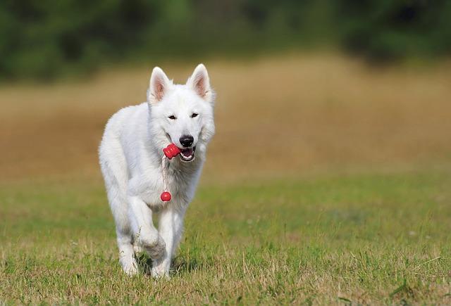 スイスの犬